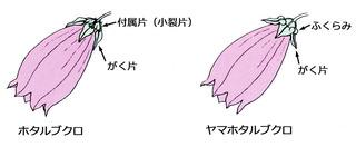 ホタルブクロとヤマホタルブクロ.jpg