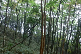 明神ー金時尾根北側のブナの若木林.jpg