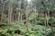 成長する人工林